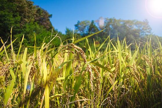 2018년 기준으로 1인당 연간 쌀 소비량은 61㎏, 1970년의 136.4㎏과 비교하면 무려 75.4㎏이 감소해 절반으로 뚝 떨어졌다. 쌀 소비의 대안으로 쌀과자, 쌀국수, 쌀쿠키 등 가공식품들이 나오고 있다. [사진 pixabay]