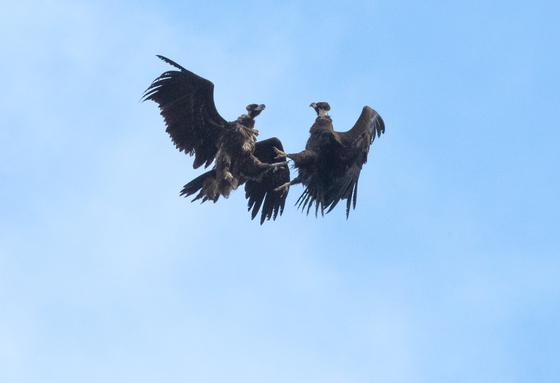 17일 충남 서산시 천수만에서 겨울철새인 독수리(천연기념물 243호) 어린새가 하늘에서 세력다툼을 하고 있다. [연합뉴스]