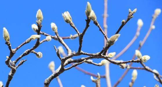 21일 오전 제주 서귀포시 이중섭거리의 목련이 꽃을 피울 준비를 하고 있다.[연합뉴스]