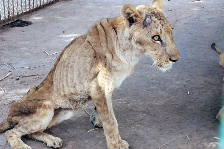 갈비뼈가 드러날 정도로 깡마른 사자가 수단 알쿠라시 공원 우리에 갇혀 있다. [사진 오스만 살리 SNS 캡처]