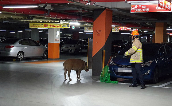 지난해 세종시 신도심 아파트 주차장에 멧돼지가 나타나 119 구급대가 출동했다. [연합뉴스]