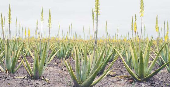 유기농법으로 알로에를 재배하는 멕시코 탐피코의 유니베라 알로에 농장. [사진 유니베라]