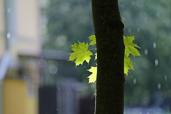 꽃잎이 떨어질세라 사뿐히 내리는 봄비. [사진 pxhere]