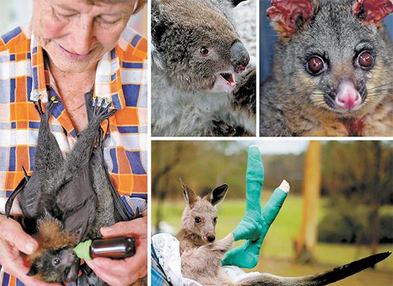 호주 산불로 10억 마리 이상의 동물이 희생됐다. 호주 정부는 야생동물 비상구호자금으로 5000만 달러를 책정하는 등 동물 구조에도 최선을 다했다. (왼쪽 사진부터 시계 방향으로) 구조대원 가슴에 매달려 먹이를 받아먹는 어미 잃은 회색머리날여우박쥐, 화마가 휩쓸고 간 캥거루섬에서 막 구조된 코알라, 귀와 다리에 화상을 입은 채 구조된 주머니 여우, 두 다리에 입은 화상 치료를 받은 동부 회색 캥거루. [EPA·AFP=연합뉴스]