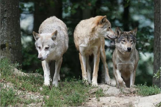 늙고 병든 자 맨앞으로…늑대에게 배우는 공동체의 삶