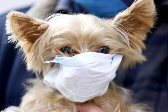 지난 1월28일 오전 경기도 평택항 국제여객터미널에서 한 강아지가 마스크를 쓰고 있다. [뉴스1]