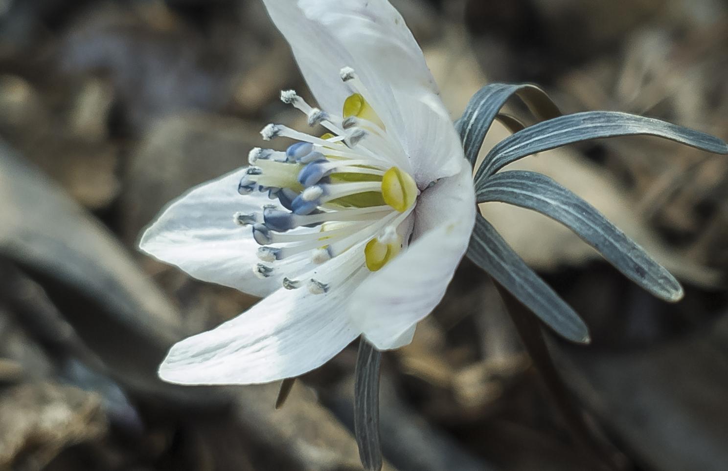 변산바람꽃. 3월 5일