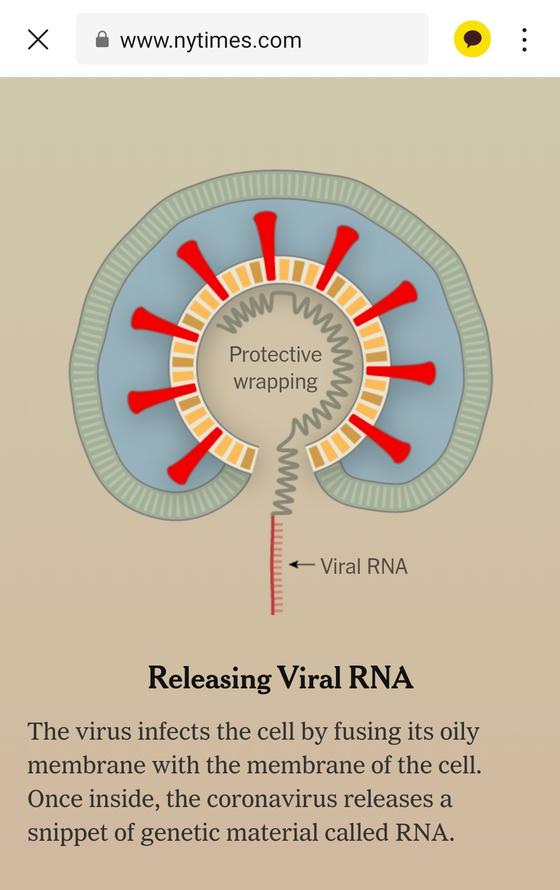 신종 코로나가 세포 내에서 RNA를 분비하는 과정. [뉴욕타임스 캡처]