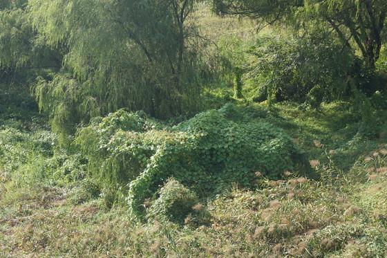 지난 2014년 서울 여의도 샛강 생태공원에 퍼진 가시박. 중앙포토