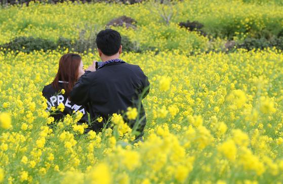 제주도 산방산 근처 유채꽃밭의 한 연인. 최근 해외여행의 위험성이 커지면서 제주도를 찾는 신혼부부가 늘고 있다. [뉴스1]