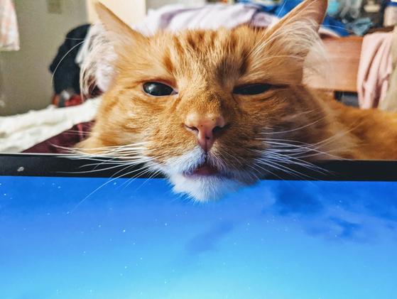 반려묘가 주인의 업무용 노트북 모니터 위에 얼굴을 갖다 댔다. [트위터 캡처]