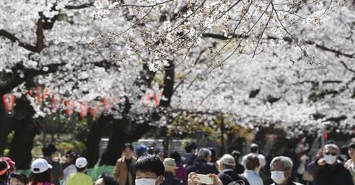 24일 일본 도쿄도에서 마스크를 쓴 사람들이 벚꽃을 구경하고 있다. AP=연합뉴스