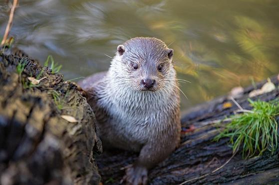 우리에게 친근한 수달은 수난의 역사를 가지고 있으나 고맙게도 잘 버텨온 동물중 하나다. 유라시안수달은 족제비과 동물 중에서 수중생활에 가장 잘 적응된 신체구조를 가진다. [사진 pixabay]