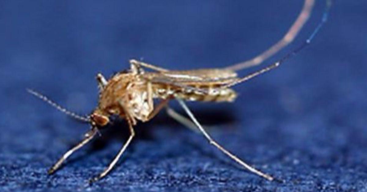 일본뇌염을 옮기는 작은빨간집모기. [사진 질병관리본부]
