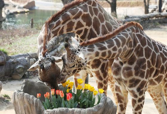 완연한 봄 날씨를 보인 지난 25일 오후 경기도 용인시 에버랜드에서 기린이 활짝 핀 튤립을 보고 있다. [연합뉴스]
