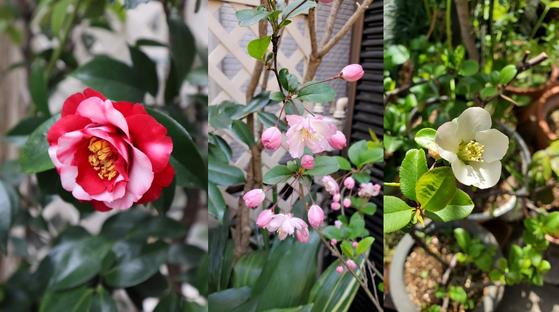 시어머님이 키우시던 꽃들. (왼쪽부터) 동백, 수사해당화, 명자꽃 등 시어머니가 남긴 꽃이 꽤 된다. 올해도 봄을 맞아 하나 둘 피어나기 시작했다. [사진 양은심]