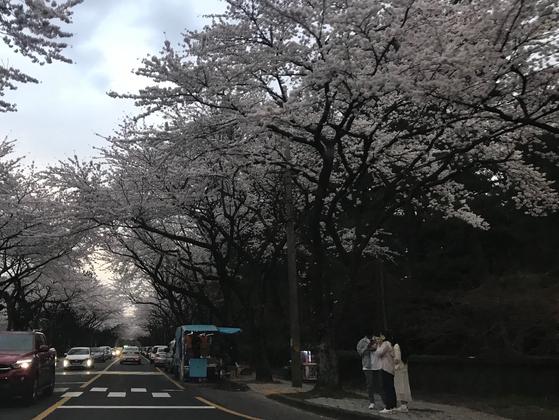 지난 25일 오후 제주대학교 앞 벚꽃길에 시민들이 모여 사진을 찍고 있다. 최충일 기자