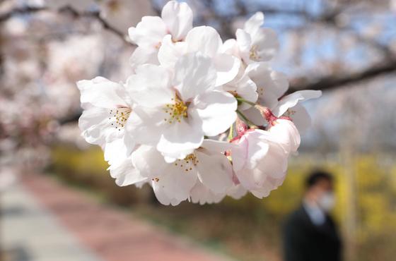 신종 코로나바이러스 감염증(코로나19) 장기화로 여의도 벚꽃축제가 취소된 가운데 27일 오후 서울 여의도 윤중로 벚꽃길에도 벚꽃이 피었다. 기상청은 이날 서울에 벚꽃이 개화했다고 공식 발표했다. 연합뉴스