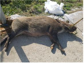 강원도 양구에서 ASF 멧돼지가 처음으로 발견됐다. 사진은 지난해 10월 발견된 ASF 멧돼지 폐사체의 모습. [사진 환경부]