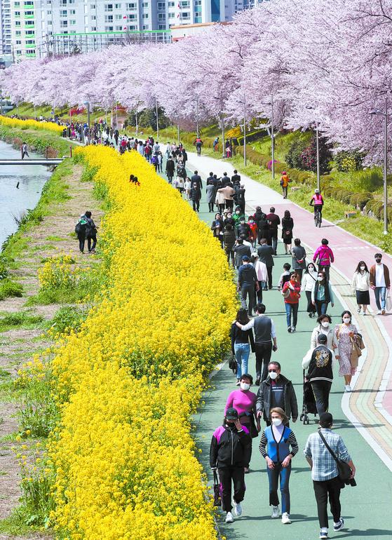 벚꽃 만개한 온천천 북적