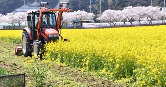 강원 삼척시가 트랙터를 동원해 상맹방리 유채꽃밭을 파쇄하고 있다. 삼척시=연합뉴스