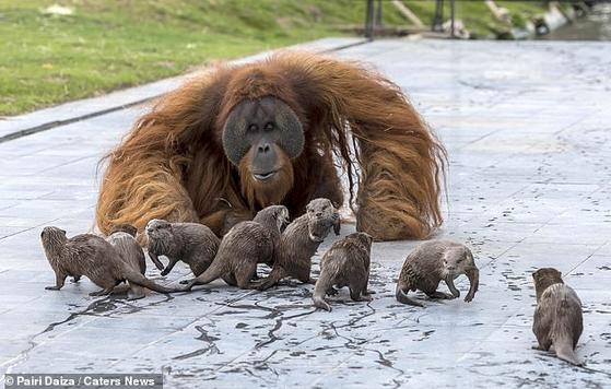 아빠 오랑우탄 우지안이 벨기에 브뤼겔레트 파이리 다이자 동물원 유인원관에서 수달 가족을 맞이하고 있다. [사진 파이리 다이자 동물원=데일리메일 캡처]