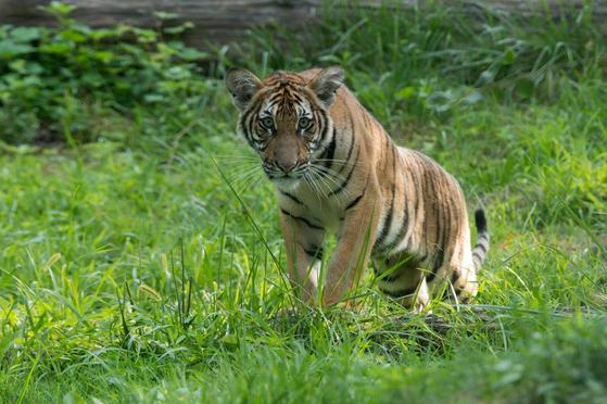 세계 최초로 코로나19에 감염된 뉴욕 브롱크스 동물원의 말레이시아 호랑이 '나디아'. [사진 브롱크스 동물원]