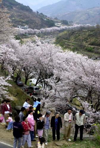 예전 하동 화개장터 십리벚꽃길 모습. 올해는 차량을 이용한 드라이브 스루 방식으로 꽃구경을 많이 했다. 중앙포토