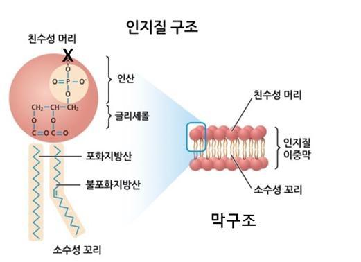 인지질과 세포막의 구조. X: 콜린, 이노시톨, 에탄올아민 등 기능성 물질. [자료 한국통합생물학회]