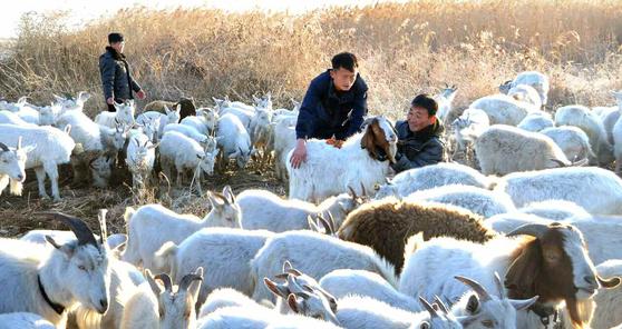 """북한은 최근 """"풀먹는 집집승 기르기""""를 독려학 있다. 북한은 식량난이 최고조에 달하던 1990년대 후반 '풀과 고기를 바꾸자'며 가축 사육을 독려한 바 있다. [노동신문=뉴스1]"""