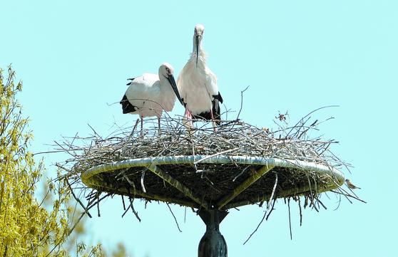 황새 자연번식 성공
