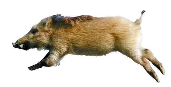 야생 멧돼지는 집에서 기르는 돼지 암컷의 오줌과 질 분비물 냄새에 적극적으로 반응하는 것으로 나타났다. [연합뉴스]