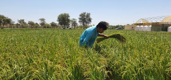 아랍에미리트(UAE) 샤르자에서 다음달 5일 수확을 앞둔 한국산 벼 품종 아세미 논. 사진 농촌진흥청
