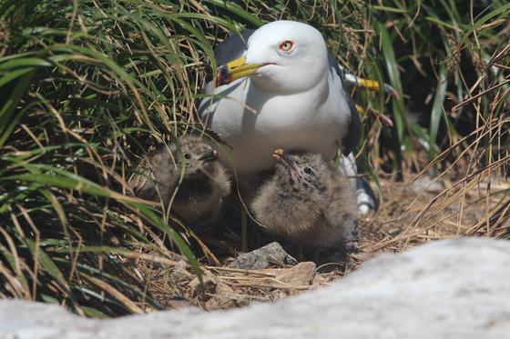 홍도에서 새끼를 양육 중인 괭이갈매기. 국립공원공단