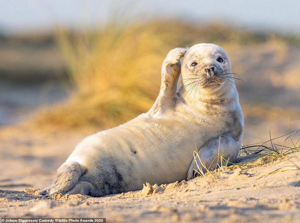 영국 링컨셔 한 해변에 누워있는 바다표범 한 마리가 머리를 긁적거리고 있다. [사진 Comedy Wildlife Photography Awards 2020]