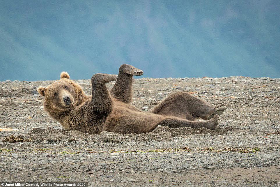 알래스카 황야에 회색곰이 누워 두발을 허공에 들어 춤추는 듯한 모습을 보이고 있다. [ 사진 Comedy Wildlife Photography Awards 2020]