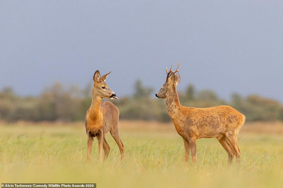 에스토니아의 초원에서 수컷 사슴이 암컷 사슴에게 혀를 내밀고 있다. [사진 Comedy Wildlife Photography Awards 2020]