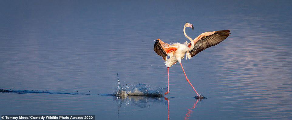 탄자니아 세렝게티의 마가디 호수에 내려 앉는 홍학이 마치 물위를 걷고 있는 것 처럼 보인다. [사진 Comedy Wildlife Photography Awards 2020]