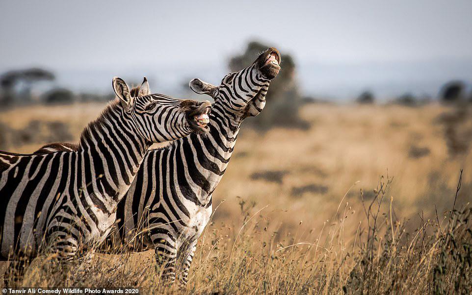 케냐 나이로비 국립공 사바나에서 단짝 얼룩말이 농담을 주고 받는 듯하다. [사진 Comedy Wildlife Photography Awards 2020]