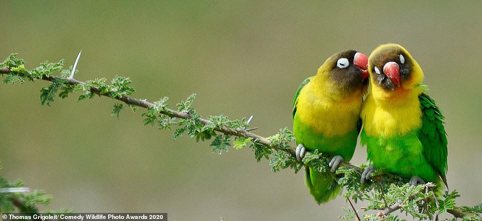 탄자니아의 타랑기레 국립공원에서 한쌍의 새가 사랑을 속삭이는 듯 깃털을 골라주고 있다. [사진 Comedy Wildlife Photography Awards 2020]