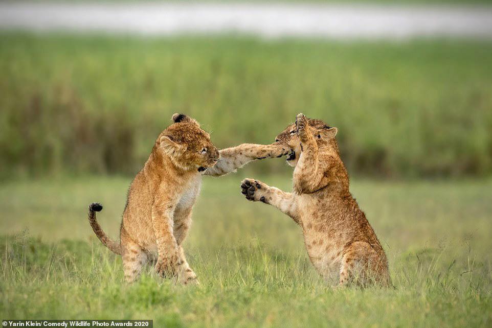 한 쌍의 사자 새끼가 탄자니아의 사바나 평원에서 권투를 하듯 놀고 있다. [사진 Comedy Wildlife Photography Awards 2020]