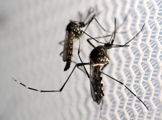 뎅기열 매개 모기인 이집트숲모기. 지난해 필리핀에선 이 모기가 옮긴 뎅기열로 1000명 이상이 숨졌다. [로이터=연합뉴스]