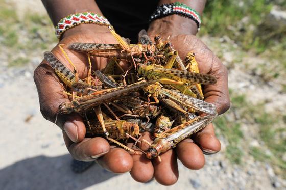 아프리카 케냐에서 발견된 사막 메뚜기들. EPA=연합뉴스