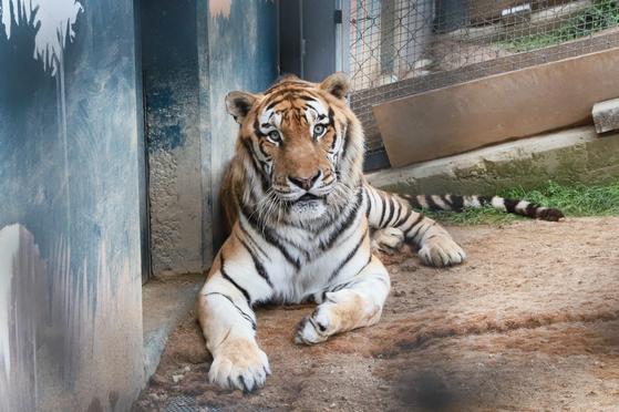 백두산 호랑이 '두만'. 사진 백두대간수목원