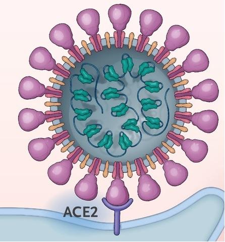 코로나19 바이러스와 앤지오텐신 전환효소 2(ACE2)