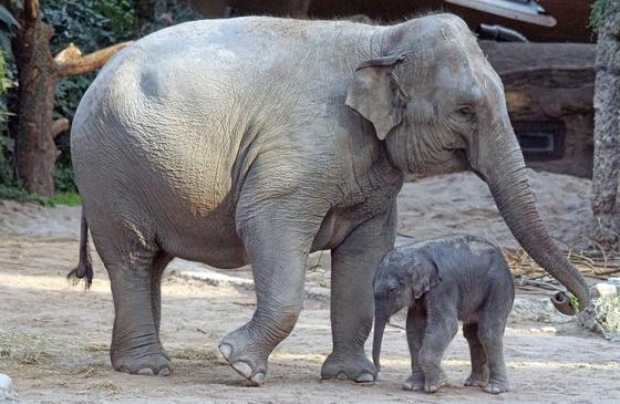 아시아 코끼리는 귀가 머리보다 작고 등과 허리선이 위로 올라가 조금은 구부정한 모습이다. [사진 Pixabay]