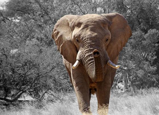아프리카 코끼리는 머리크기보다 더 큰 귀를 가지고 있으며 이마는 밋밋하게 홈이 파인 형태로 둥그런 모양이다. [사진 Pixabay]