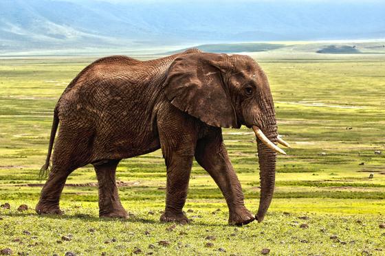 아프리카 코끼리는 암수 모두 긴 엄니를 가지고 있다. [사진 Pixabay]