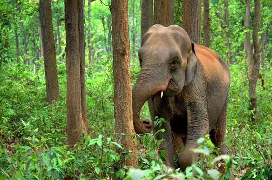 아시아 코끼리의 이마는 가운데를 두고 양쪽으로 돔같이 불록하게 각이 진 형상이다. [사진 Pixabay]