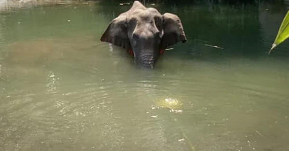 인도 야생 코끼리가 폭죽으로 채워진 파인애플을 입안에 넣었다가 폭발해 결국 죽었다. 이 코끼리는 물속에서 아픔을 달래면서 서서히 죽어갔다. 사진 모한 크리슈난 페이스북